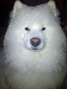 shaved ice dog