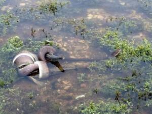 snake battles and eats crocodile