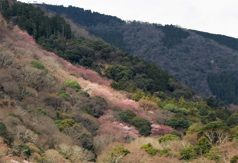 160327桜嵐山アップ
